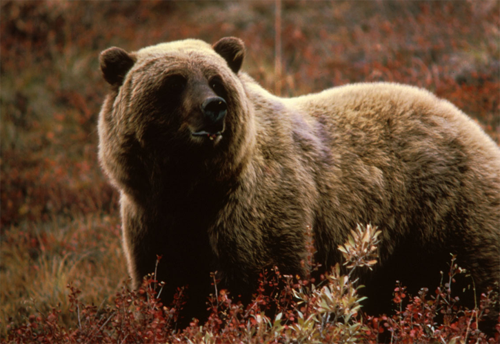 Grizzly bears, wildlife in Canada